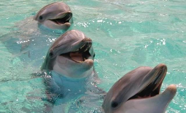 Dolphins say hello with signature tunes - I delfini si salutano con un particolare suono