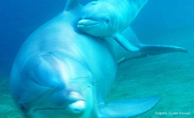 E' una femmina! Un nuovo cucciolo di delfino è nato al Dolphin Quest Hawaii - It's A Girl! New Dolphin Baby at Dolphin Quest Hawaii